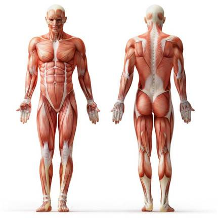 How Long Does it Take for Muscle to Grow, Fat to Go?